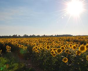 חמניות מסתובבות אל השמש
