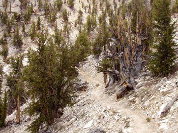 חורשת מתושלח המצויה באזור ההרים הלבנים שבקליפורניה.