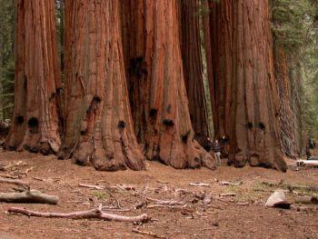 סקוויה נאה – מן העצים הגדולים בעולם. שימו לב לגודלו היחסי של האיש בתמונה.
