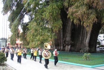 שימו לב לעץ הטקסודיון שבתמונה - עץ שקוטר גזעו כ-11 מ'.